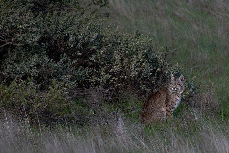 Bobcats 1 - Lynx rufus - Marin County