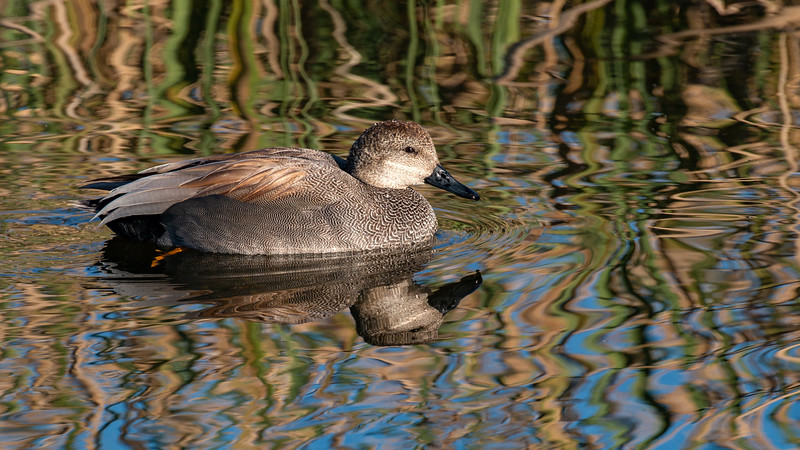 Gadwall - Male