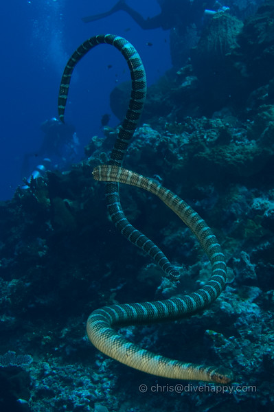 Sea Snakes Investigating Their New Scuba Visitors © Chris Mitchell