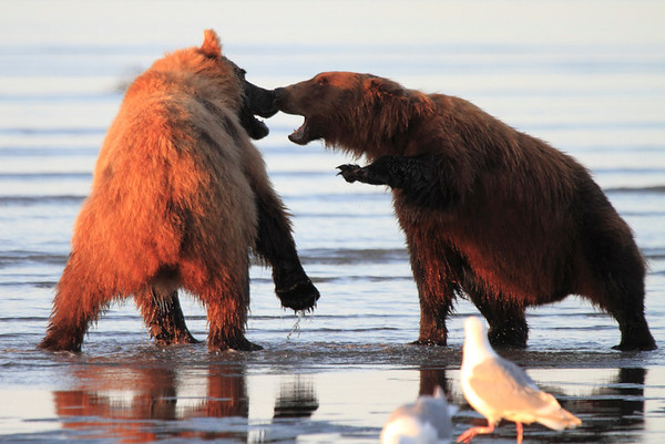 Bears Fighting on Beach Alaska 2017