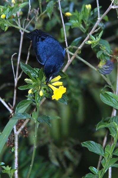 Flowerpiercer Costa Rica