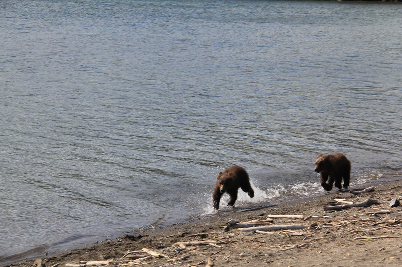 20160714-113 - Katmai NP-Brooks Camp-Two Cubs at Brooks Lake.JPG
