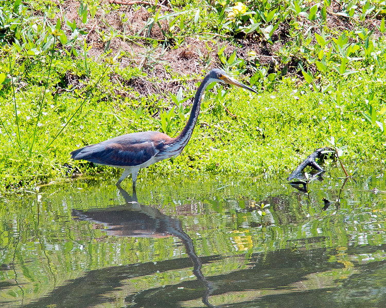 9_6_19 A Wading Tricolored Heron.jpg