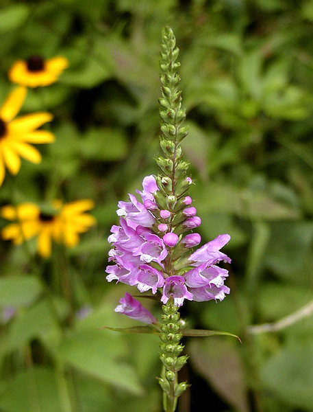 Obedient Plant or False Dragonhead Blooming along Balsam Mountain Road, NC Physostegia leptophylla Lamiaceae 8/4/07