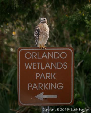 12/12/16 Birding at Orlando Wetlands - Christmas, FL