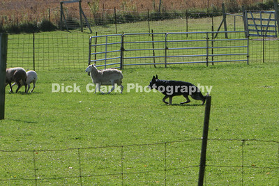 Saturday GSD Advanced Sheep