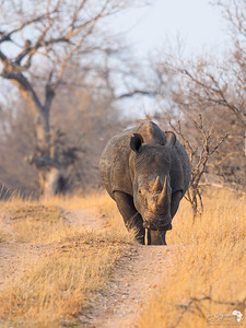 White Rhino at Dawn
