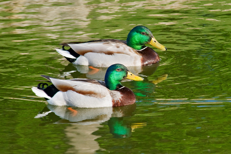 Mallard - males - Shoreview, MN