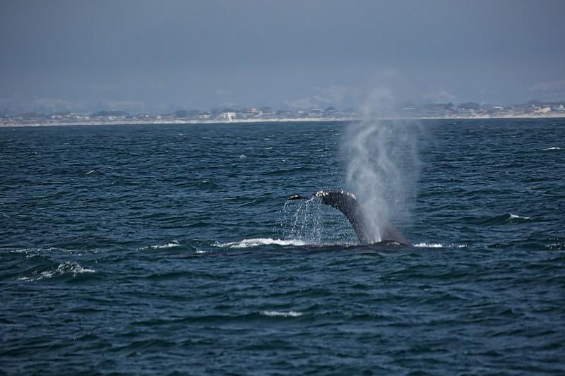 Whale watching off Monterey Coast2017-09-20 (8).jpg