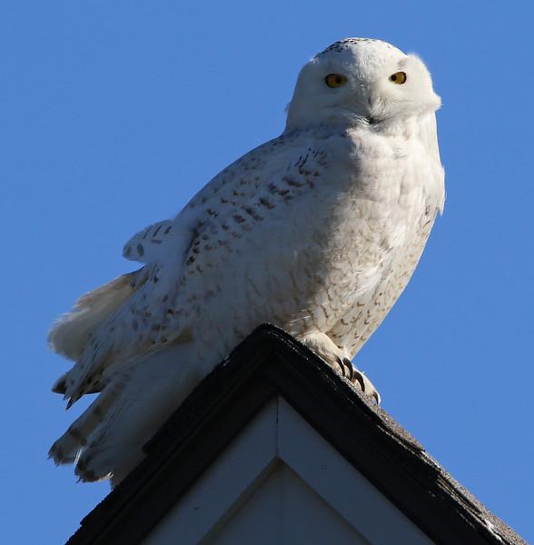 snowy owl 67.jpg