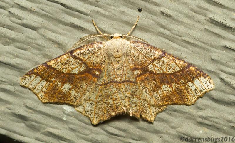 Oak Besma moth, Besma quercivoraria (Geometridae: Ennominae: Ourapterygini) from Iowa.