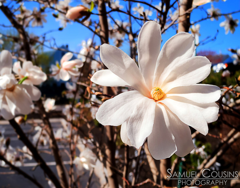 A magnolia flower blooming.