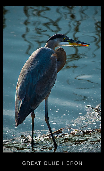 Back Bay Herons, Egrets, Pelican