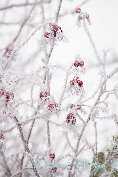 Winter frosted red rosehips_9477.jpg