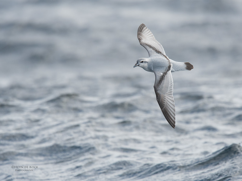 Fairy Prion, Eaglehawk Neck Pelagic, TAS, Sept 2016-6.jpg
