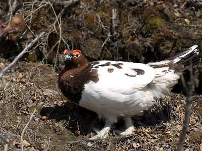 Alaska's State Bird  Ptarmigan