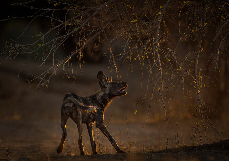 African Wild Dog snapping at a tree branch, Mana Pools National Park