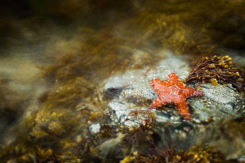 Ochre starfish (Pisaster ochraceus) Vancouver Island, British Columbia