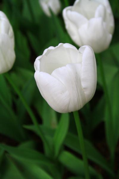 tulips-3083.jpg