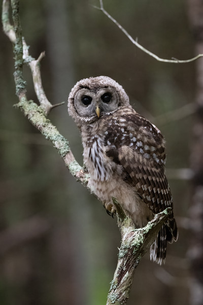 #1676 Barred Owlet