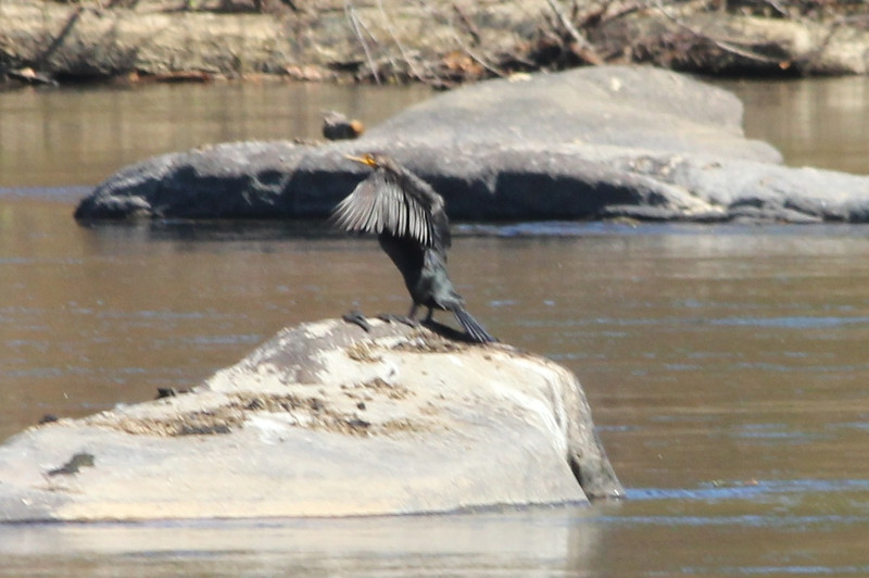 October 12, 2012 - (James Park Complex [Wetlands & Pony Pasture] / Richmond, Virginia) -- Double-crested Cormorant