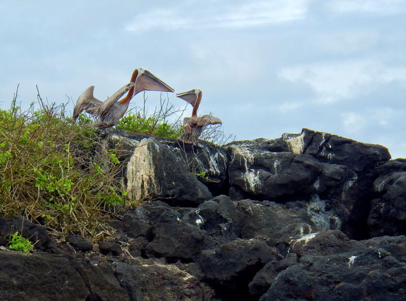 Pelicans at Puerto Chino