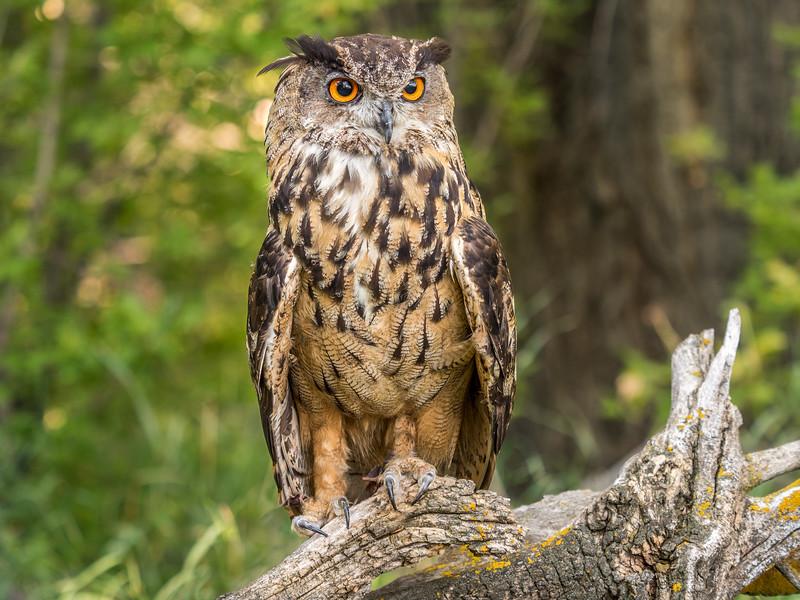 06 0116 Eurasian Eagle Owl 0070.jpg