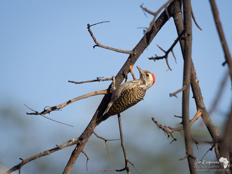 Bearded Woodpecker 2