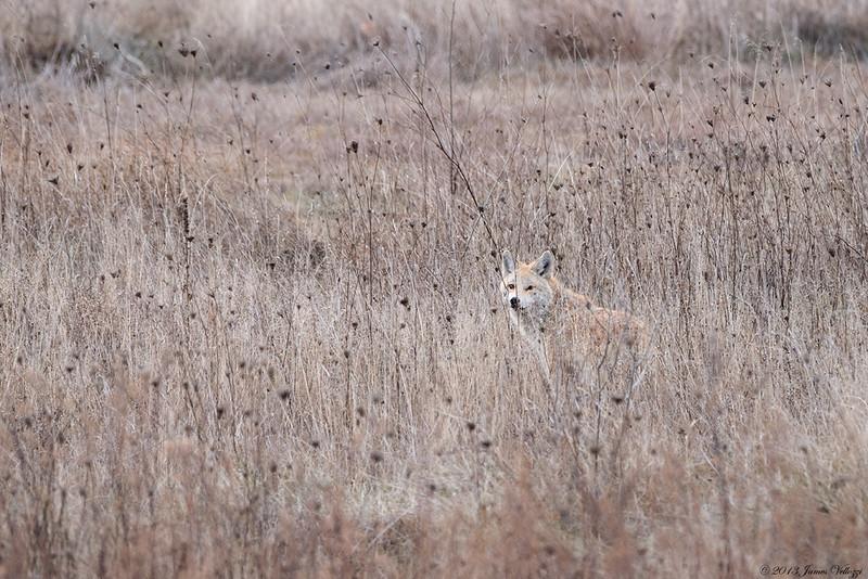 Coyote300314A.jpg