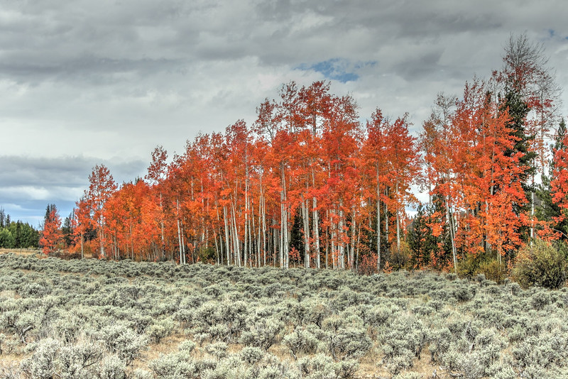 Orange Aspen near Owl Mountain, CO.jpg