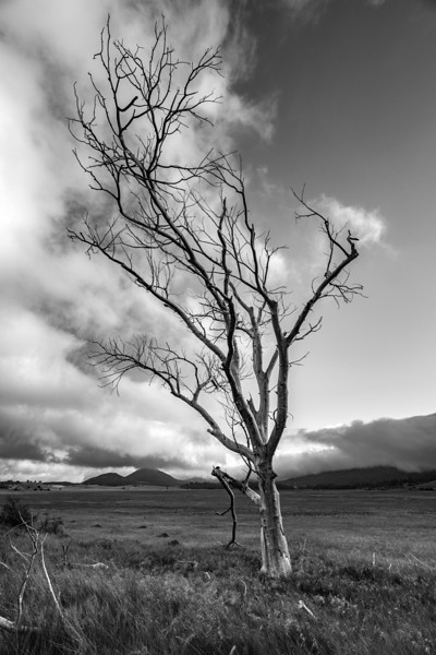 CUYAMACA TREE Black and White  4X6 Print EDIT.jpg