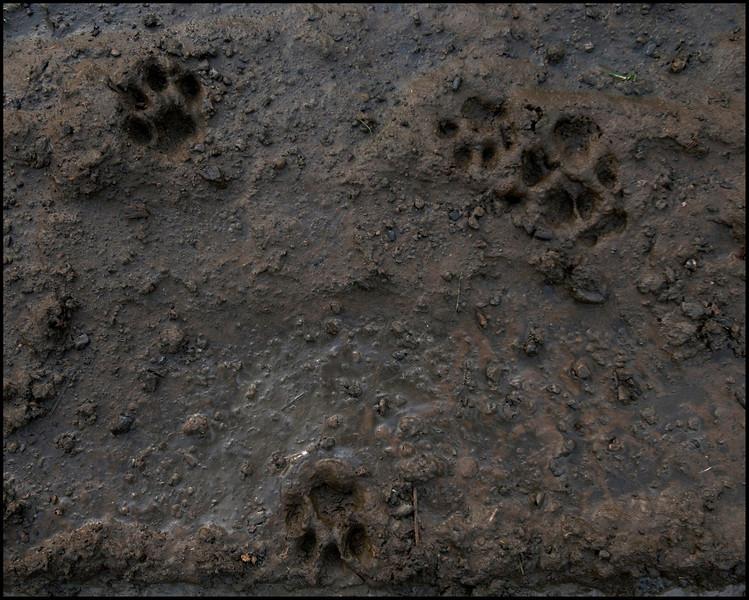 Bobcats 3 - Lynx rufus - Marin County