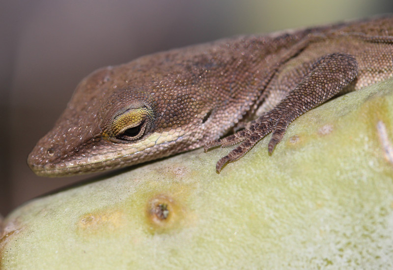 Green Anole 9