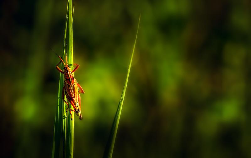 Grasshoppers 25.jpg