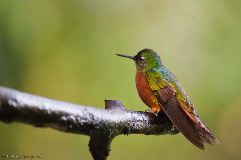 A humming bird in Aguas Calientes, Peru.