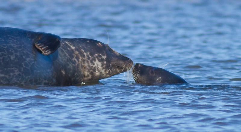 Harbor Seal Cape Merry Hudson Bay Churchill Manitoba Canada IMG_0585.jpg