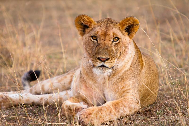 Lioness basking