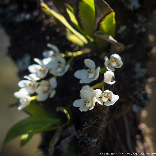 Orange-blossom Orchid (Sarcochilus falcatus)