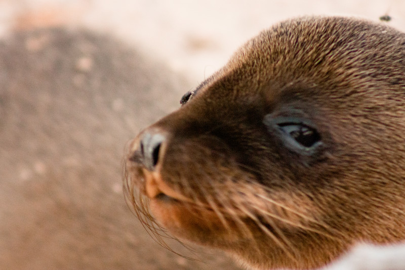Open Eye Sea Lion Pup : Journey into Genovesa Island in the Galapagos Archipelago