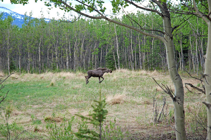 Young moose sighted during cover wagon ride in Denali