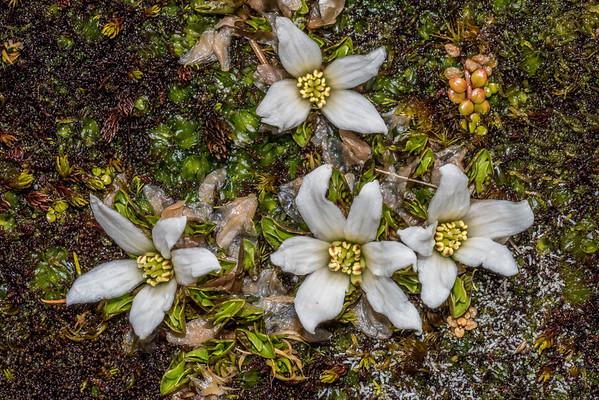 White caltha - Caltha obtusa
