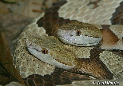 copperheads_2_npn_6182.jpg
