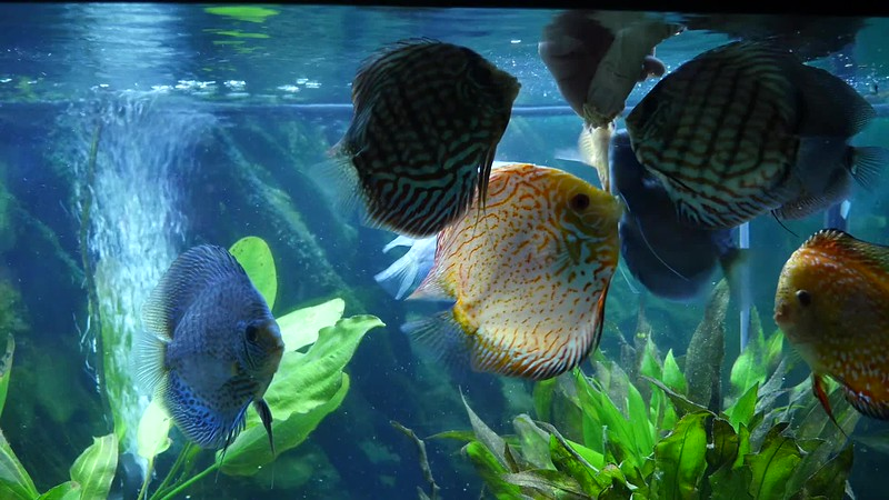 Discus Feeding.mp4