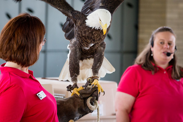 St. Louis Earth Day Festival 2014 pictures - World Bird Sanctuary: Bald Eagle