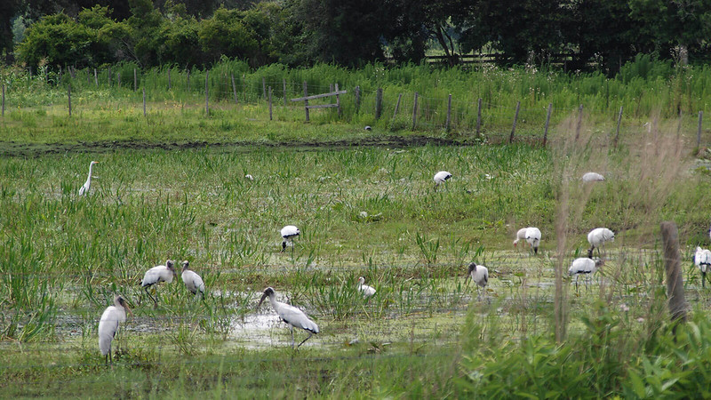 Wood storks in marsh