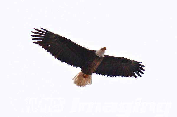 Bald Eagle - Sheridan, IL