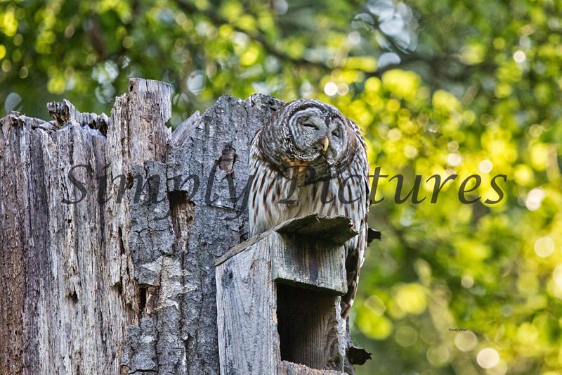 Owl  (18)