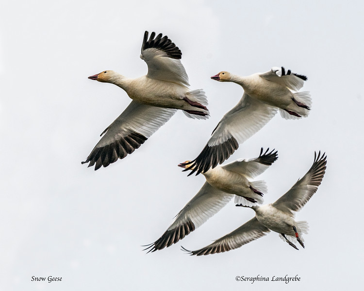 _DSC8880Snow Geese flight.jpg