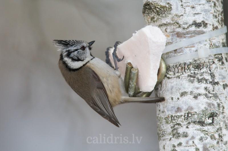 Crested Tit visiting beird feeder