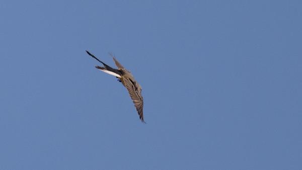 Coronado Island Birds, 10/28/2017